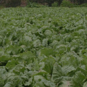 Exotic vegetable cultivation and management